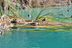 Ducks among the reeds. Some ducks rest among the reeds at a pond in Whitewater Canyon. Located near the town of Palm Springs, California Stock Photo