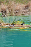 Ducks among the reeds. Some ducks rest among the reeds at a pond in Whitewater Canyon. Located near the town of Palm Springs, California Stock Photography