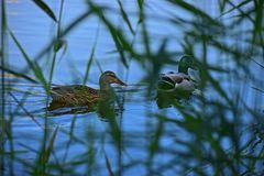 Ducks In Reeds. Kahki Campbell male and female breeding pair of ducks in a duck pond in the Clot de Galvany natural park in Gran Alacant Spain Stock Photo