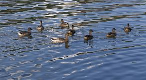 Ducks on reflective water surface. Some ducks swimming on a river Royalty Free Stock Images