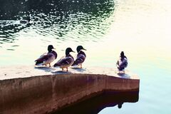 Free Ducks Relax And Bask In The Sun, Sitting On A Stone Ledge On The Pond On A Sunny Day In The Park. Royalty Free Stock Photography - 174835377