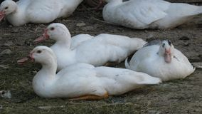 Ducks Relax. Small domestic Muscovy ducks in the backyard stock video footage