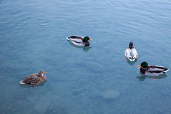 Ducks relaxing on a lake in Switzerland. Royalty Free Stock Photo