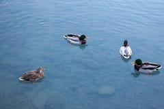 Ducks relaxing on a lake in Switzerland. Ducks relaxing on a lake in Switzerland Royalty Free Stock Photo