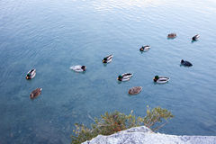 Ducks relaxing on a lake in Switzerland. Stock Images
