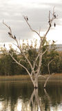 Ducks Relaxing. Many ducks relaxing on a dry tree in the lake stock photos