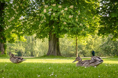Ducks relaxing in a park. At summertime Stock Image