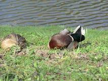 Ducks rest near the pond. stock photos
