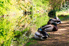 Ducks Resting on the Bank of a Canal Waterway. Ducks Resting in dappled sunlight at the Bank of the canal Waterway at the New River Walk, Canonbury, London stock image