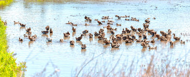 Ducks resting by the lake water. Ducks resting the lake with hundreds of ducks are preening, a cold shower, the flooded fields in the beautiful sunshine, this is Stock Photography