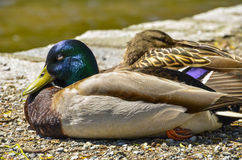 Ducks resting by a pond. Colorful ducks basking in the sun by a pond Royalty Free Stock Photography
