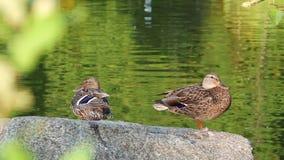 Ducks resting on rock near the lake stock video footage