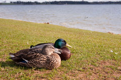 Ducks Resting at Rutland Water. Ducks Resting on the shoreline at Rutland Water Royalty Free Stock Photos