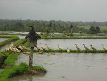 Ducks & Rice Fields Stock Photos