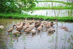 Ducks on rice fields near Ubud Stock Image