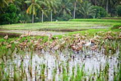 Ducks on rice fields near Ubud Royalty Free Stock Photography