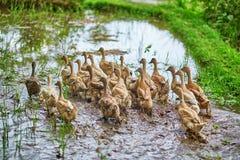 Ducks on rice fields near Ubud, Bali, Indonesia Stock Photography