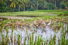 Ducks on rice fields near Ubud, Bali, Indonesia Royalty Free Stock Photos