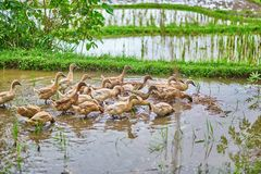 Ducks on rice fields near Ubud, Bali, Indonesia Stock Photo