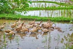 Ducks on rice fields near Ubud, Bali, Indonesia Stock Photo