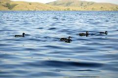 Ducks on ripple of lake Royalty Free Stock Photos