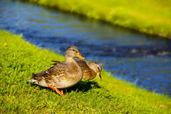Ducks on the river. Two ducks on the river on the green vivid medow Stock Photo