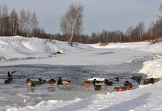 Ducks on the river. Ducks float in an ice-hole Stock Photography