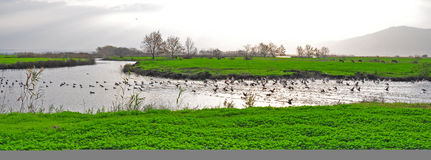 Ducks in a river, Ahula, Israel. Ducks splashing in a river with a green river bed, trees and horses stock photography