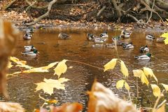 Ducks on the River Royalty Free Stock Photo