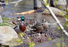 2 Ducks on a river bank. A mallard duck and mate feed at the side of a river bank in Ottawa Canada Stock Images