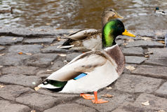 Ducks on the river bank Royalty Free Stock Photos
