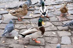 Ducks on the river bank Royalty Free Stock Photography