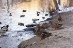 Ducks on the river bank. Royalty Free Stock Photo