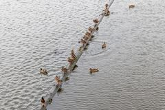 Ducks and the river royalty free stock photo