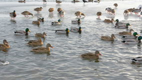 Ducks on the river closeup. The big pack of ducks on the river floats near the coast stock video footage