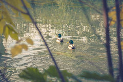 Ducks on the river. In the fall Royalty Free Stock Photos