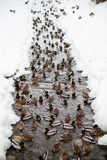 Ducks in the river. A flock of ducks in the river channel in winter on the white snow Royalty Free Stock Photography