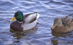 Ducks on the river stock photo