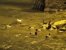 Ducks in the river at night Stock Image