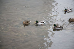 Ducks Stock Photography
