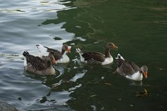 Ducks in the river of sevilla Spain royalty free stock images