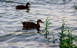 Ducks on the river. During the summer afternoon stock image