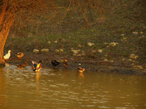 Ducks on a river at sunset Royalty Free Stock Photos