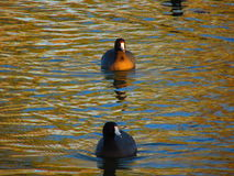 Ducks on river Royalty Free Stock Images
