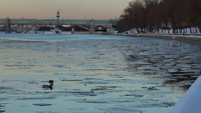 Ducks on river. Two ducks in evening on river stock footage