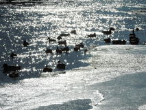 Ducks on the river Royalty Free Stock Photos