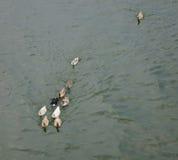 Ducks on river Royalty Free Stock Photo