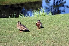 Ducks at a riverside Royalty Free Stock Photography
