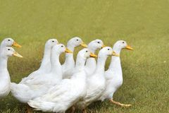 A Ducks in a row. The Ducks in a row Royalty Free Stock Photos