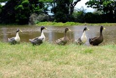 Ducks in a row. Stock Photos